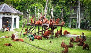 tanjung-puting-kalimantan-borneo-national-park-orangutan-3