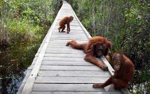tanjung-puting-kalimantan-borneo-national-park-orangutan-6