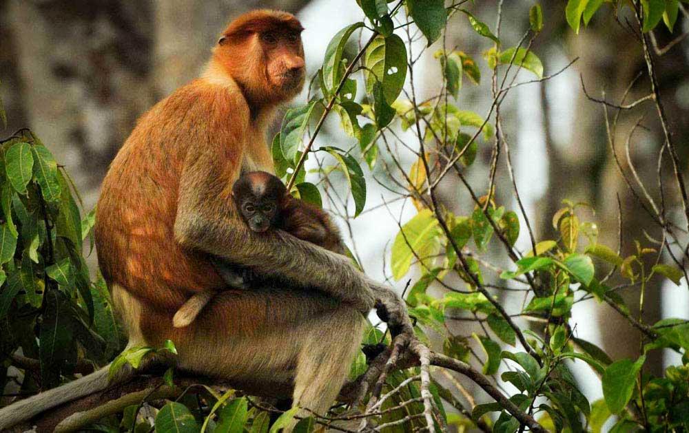 tanjung-puting-kalimantan-borneo-national-park-orangutan-7