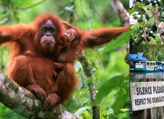 tanjung-puting-kalimantan-borneo-national-park-orangutan-banner