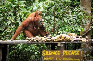tanjung-puting-kalimantan-borneo-national-park-orangutan1